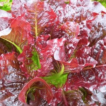 Outredgeous-Lettuce