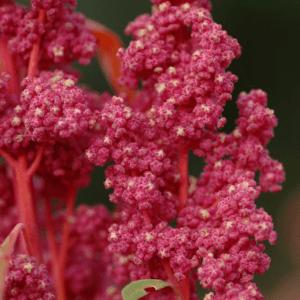 Red-Head-Quinoa